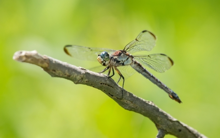 pruinescence: Male Great Blue Skimmer dragonfly Libellula vibrans perching on a twig in Maryland during the Summer Stock Photo