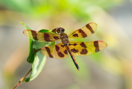 pruinescence: Halloween Pennant dragonfly Celithemis eponina perching on a twig in Maryland during the Summer Stock Photo