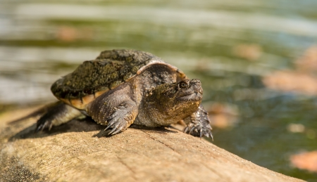 Young Common Snapping Turtle Chelydra serpentina basking by a lake in Maryland during the Summer Imagens - 21697990