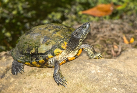 Melanistic Red-eared Slider pond turtle Trachemys scripta elegans basking on a rock in Maryland during the Summer photo