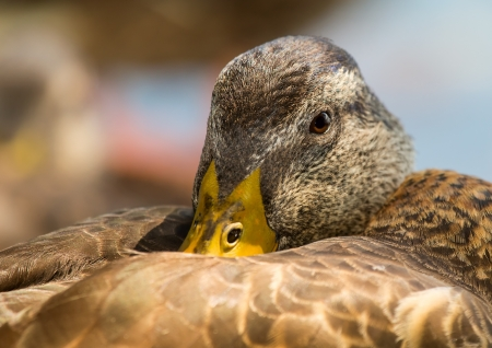 power nap: Profile of an adult Mallard duck sleeping by a lake in Maryland during the Summer