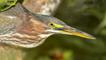 riparian: Detailed face of a Little Green Heron Butorides virescens in shady vegetation by lake in Maryland during the Summer