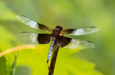 libellula: Widow Skimmer dragonfly Libellula luctuosa resting on a twig in Maryland during the Summer