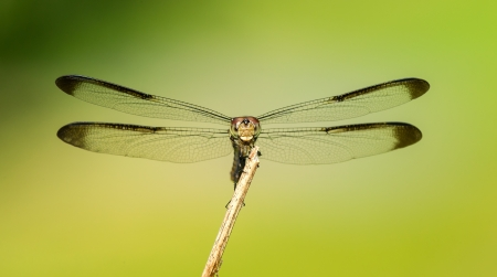 translucense: Female Great Blue Skimmer dragonfly Libellula vibrans perching on a twig in Maryland during the Summer