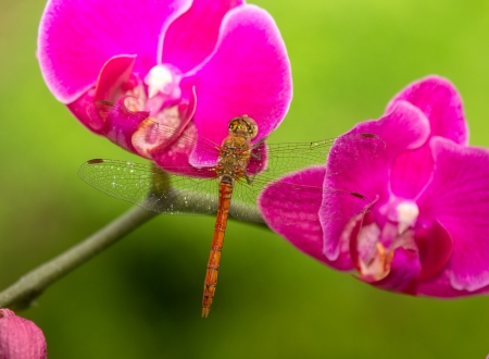 Common Darter dragonfly Sympetrum striolatum perching on pink orchids in England photo