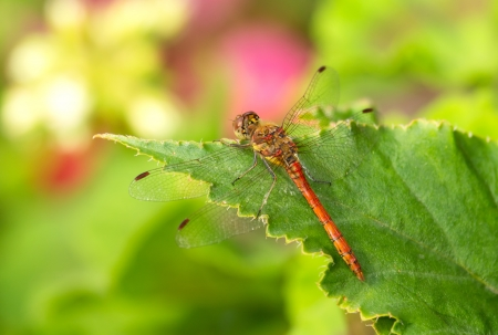 odonatology: Common Darter dragonfly Sympetrum striolatum perching on a leaf in England