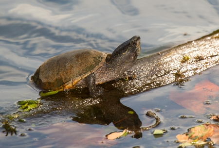 A rarely observed Eastern Musk Turtle Sternotherus odoratus basking on a log in Maryland during the Summer Stock Photo