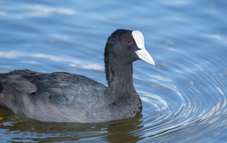 coot: Eurasian Coot Fulica atra swimming on a lake in wetlands in England during the Summer Stock Photo