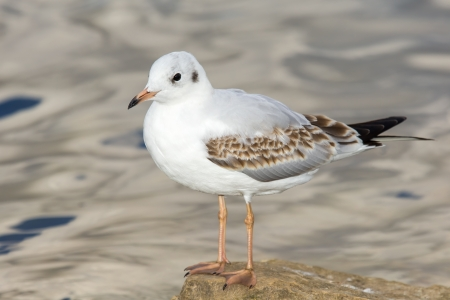 Juvenile Black-headed Gull Chroicocephalus ridibundus standing by a lake in England during the Summer photo