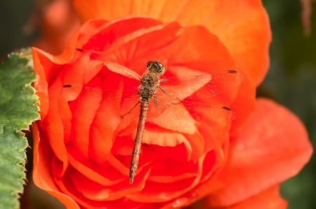 pruinose: Common Darter dragonfly Sympetrum striolatum perching on red Begonia flowers in England Stock Photo