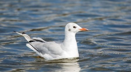 Black-headed Gull Chroicocephalus ridibundus in winter plumage swimming on a lake in England during the Autumn photo