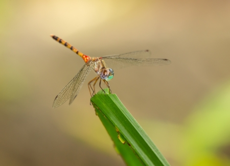 pruinescence: Blue-faced Meadowhawk dragonfly Sympetrum ambiguum perching on a leaf in Maryland during the Summer