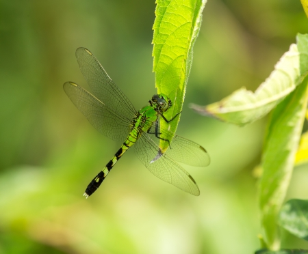libellulidae: Female Eastern Pondhawk dragonfly Erythemis simplicicollis resting on a leaf in Maryland during the Summer