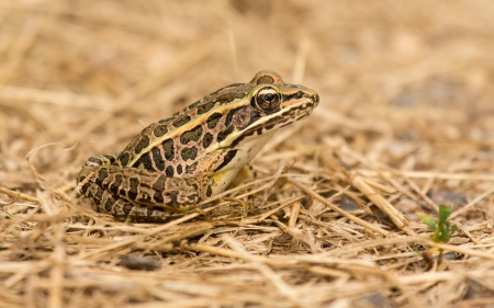 Southern Leopard Frog Lithobates sphenocephalus sitting on vegetation in wetlands in Maryland during the Autumn photo