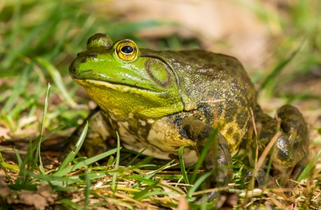 American Bullfrog Rana catesbeiana sitting by a lake in Maryland during the Autumn Stock Photo