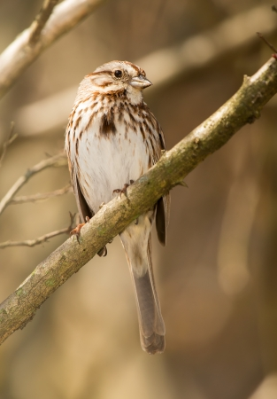 Song Sparrow Melospiza melodia perching on a twig in Maryland during the Spring