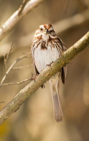urban wildlife: Song Sparrow Melospiza melodia perching on a twig in Maryland during the Spring