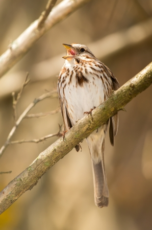 Song Sparrow Melospiza melodia perching on a twig and singing in Maryland during the Spring Banco de Imagens
