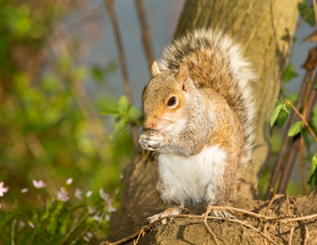 Eastern Gray Squirrel sitting on a tree stump while eating a nut in Maryland during the Spring photo