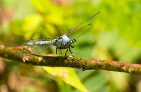 erythemis: Eastern Pondhawk dragonfly Erythemis simplicicollis resting on a twig in Maryland during the Summer