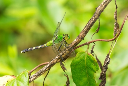 pondhawk: Female Eastern Pondhawk dragonfly Erythemis simplicicollis resting on a twig in Maryland during the Summer Stock Photo