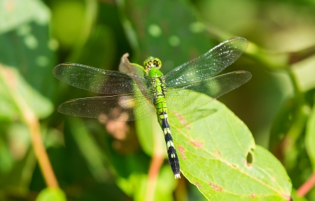 odonatology: Female Eastern Pondhawk dragonfly Erythemis simplicicollis resting on a leaf in Maryland during the Summer