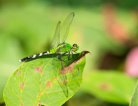 simplicicollis: Female Eastern Pondhawk dragonfly Erythemis simplicicollis resting on a leaf in Maryland during the Summer