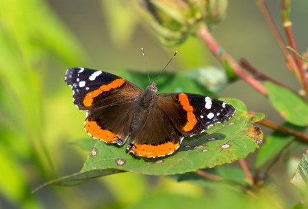 basking: Red Admiral butterfly Vanessa atalanta basking in the sun in Maryland during the Summer
