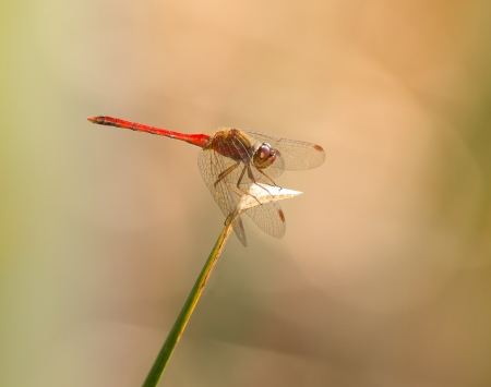 Autumn Meadowhawk dragonfly Sympetrum vicinum perching on a reed in Maryland during the Fall photo