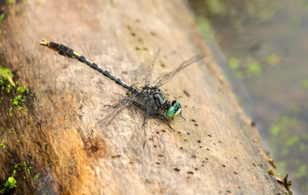 Unicorn Clubtail dragonfly Arigomphus villosipes resting on a log by a lake in Maryland during the Summer Stock Photo