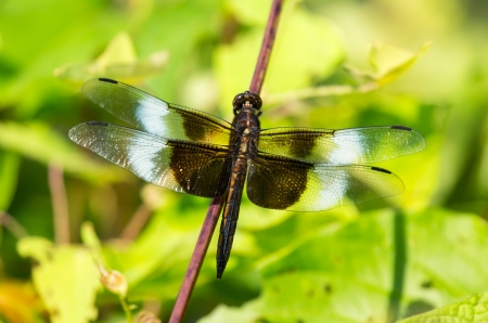 pruinescence: Widow Skimmer dragonfly Libellula luctuosa resting on a twig in Maryland during the Summer