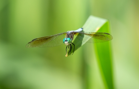 Male Blue Dasher dragonfly Pachydiplax longipennis resting on a leaf in Maryland during the Summer