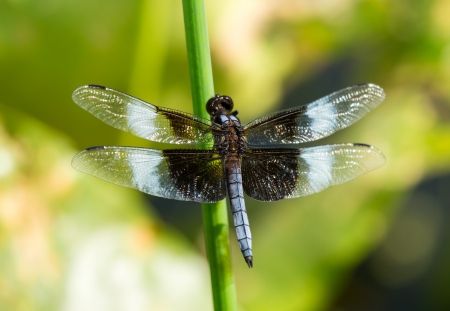 reed stem: Widow Skimmer dragonfly Libellula luctuosa resting on a reed stem in Maryland during the Summer