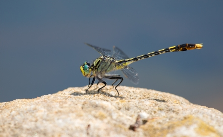 odonatology: Unicorn Clubtail dragonfly Arigomphus villosipes resting on a rock Stock Photo
