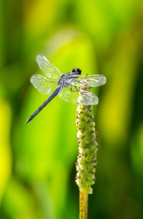 odonatology: Slaty Skimmer dragonfly Libellula incesta perching on Pickerelweed in Maryland during the Summer