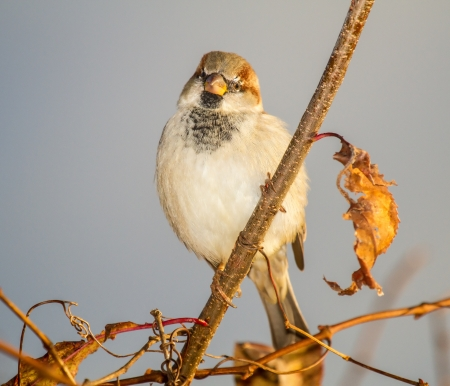 Male House Sparrow Passer domesticus perching on a tree branch in Maryland during the Autumn Stock Photo