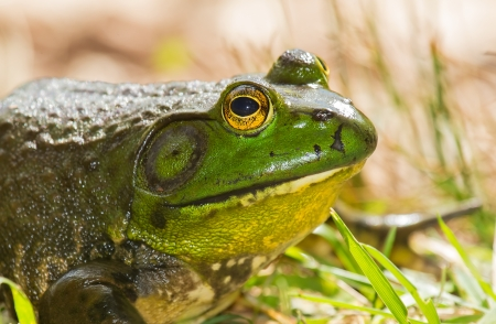 Profile of an American Bullfrog Rana catesbeiana sitting on grass in Maryland during the Autumn photo