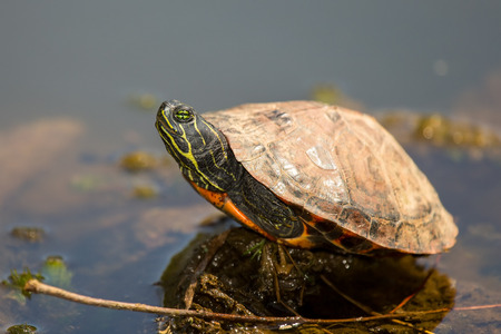 Young Northern Red-bellied Cooter Pseudemys rubriventris pond turtle basking on a log in Maryland during the Spring