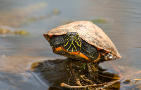 cooter: Young Northern Red-bellied Cooter Pseudemys rubriventris pond turtle basking on a log in Maryland during the Spring