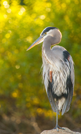 Great Blue Heron Ardea herodias perching on a rock in Maryland during the Autumn Stock Photo
