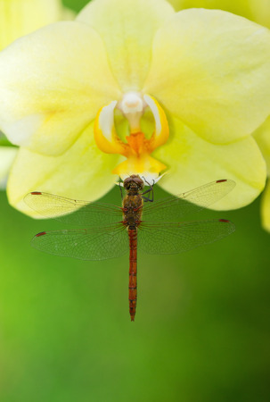 pruinescence: Common Darter dragonfly Sympetrum striolatum perching on a yellow orchid in England Stock Photo