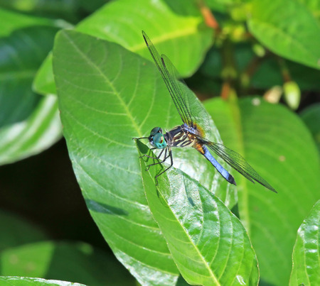 odonatology: Male Blue Dasher dragonfly Pachydiplax longipennis resting on a leaf in Maryland during the Summer