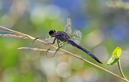 Slaty Skimmer dragonfly Libellula incesta perching on a grass stem in Maryland during the Summer