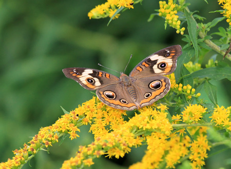 Common Buckeye butterfly Junonia coenia feeding on meadow wildflowers in Maryland during the Summer photo