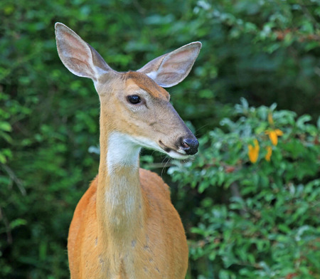 odocoileus: White-tailed Deer doe Odocoileus virginianus standing in shady woodland in Maryland during the Summer