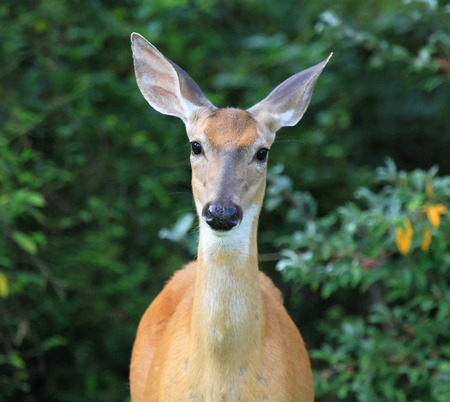 White-tailed Deer doe Odocoileus virginianus standing in shady woodland in Maryland during the Summer