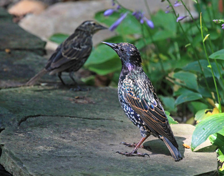 European Starling Sturnus vulgaris resting by a pond in Maryland during the Summer photo