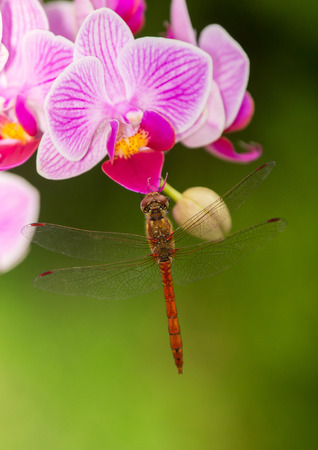 Common Darter dragonfly Sympetrum striolatum perching on a pink orchid in England photo
