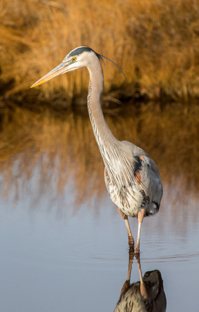 Great Blue Heron Ardea herodias hunting in a stream on Assateague Island during the Winter Stock Photo
