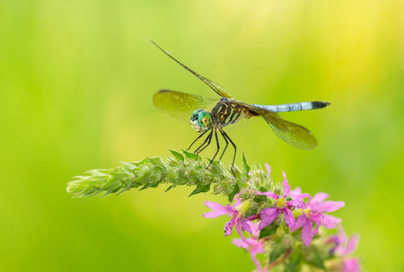 odonatology: Male Blue Dasher dragonfly Pachydiplax longipennis resting on a wildflower in Maryland during the Summer Stock Photo